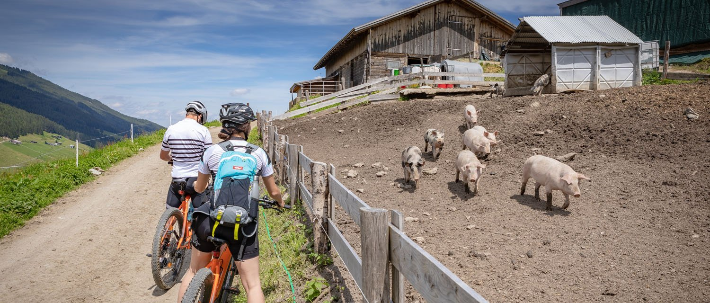 Mountainbike Tour nach Hochfügen mit Schweine im Stall