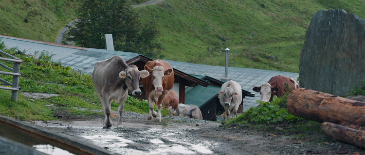 Die Kühe in der Natur