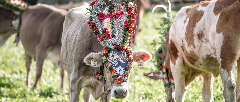 Kühe beim grasen Almabtrieb